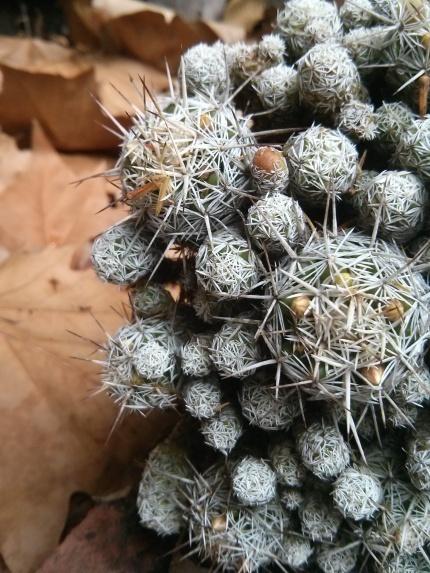 fallen cactus