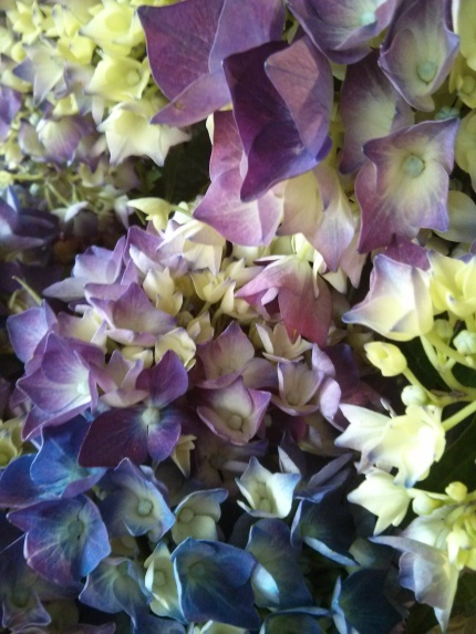 hydrangea : tribal rose fitzroy