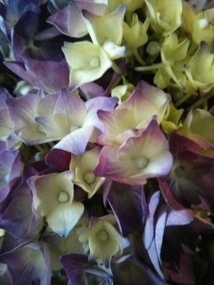 hydrangea closeup : tribal rose fitzroy