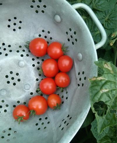 tiny tomato harvest - northcote