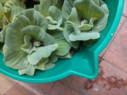 water lettuce in bucket